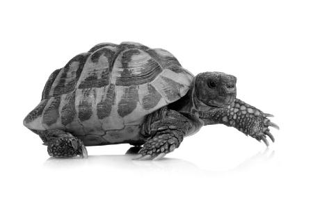 A tortoise. Credit: https://www.istockphoto.com/au/portfolio/globalp
