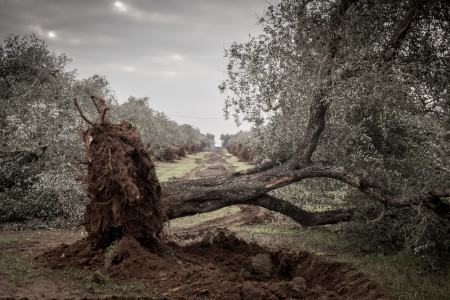 Tree that is uprooted. Credit: PanareoFotografia
